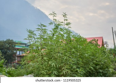 A bush of Cannabis Sativa growing in the himalayan mountains.