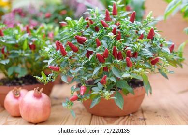 bush of chilli pepper in pot