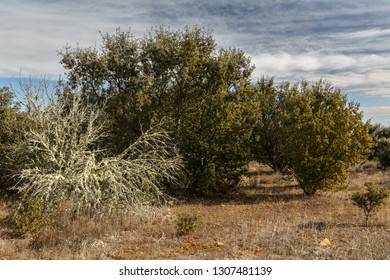 Bush covered with lichens in holm oak forest. Quercus ilex.