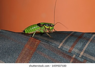 bush cricket or katydid Latin eupholidoptera chabrieri at rest on a tartan piece of material in summer in Italy