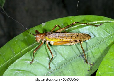 Bush cricket on a leaf in rainforest, Ecuador