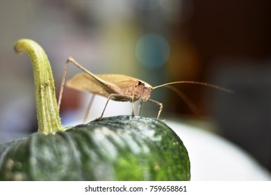 Bush cricket ( Scientific name Mecopoda elongata)