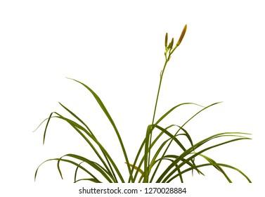 Bush of  daylily ( hemerocallis)  with buds on a white background isolation