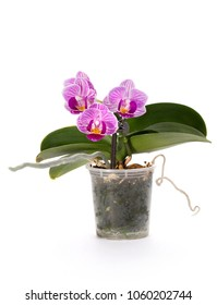 Bush of dwarf phalaenopsis orchid in a pot on a white background