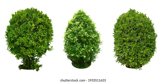 Bush, Dwarf trees, ornamental trees, shrubs., Siamese rough bush, pruning tree for garden decoration.  Total of 3 Isolated on white background and clipping path. - Shutterstock ID 1933511633