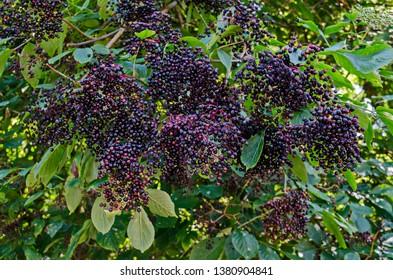 Bush Elder or Sambucus covered with cluster elderberry fruits and  green foliage,  mountain Balkan, near Varshets town, Bulgaria, Europe