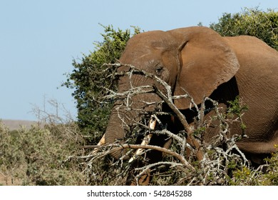 Bush Elephant hiding behind the branches in the field.