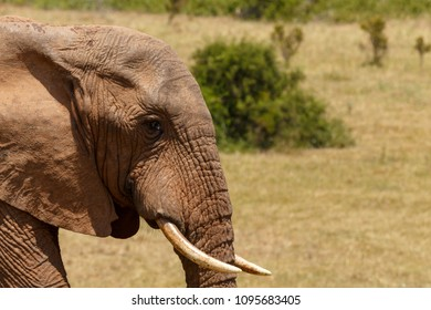 Bush Elephant with his small tusk standing in the field
