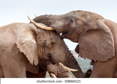 Bush Elephant smiling and giving a kiss on the forehead.