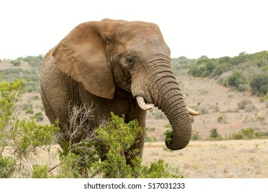 Bush Elephant standing behind the bushes and eating his grass.