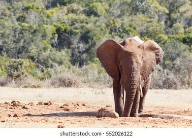 Bush Elephant staring at the warthog crawling to the watering hole.