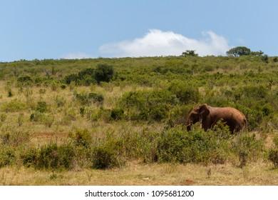 Bush Elephant walking through the fields of Addo Elephant National Park
