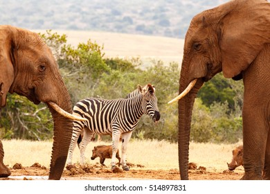 Bush elephants enjoying their water while the Zebra is thirsty for some water.