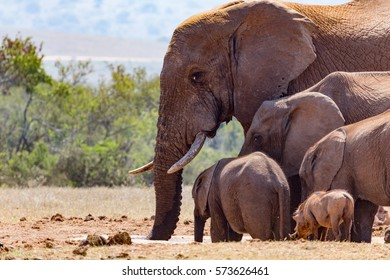 Bush Elephants gathering at the dam for some water.