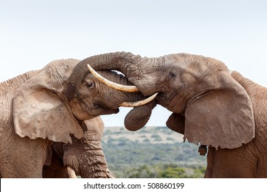 Bush Elephants showing some love and affection in the field.