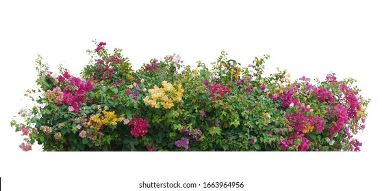 Bush flower of bougainvillea on isolated white background with copy space and clipping path.Plant in the garden.