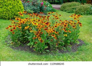 Bush of Flowers in Garden Rudbeckia