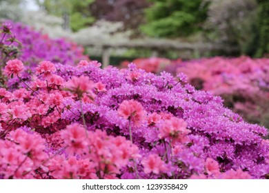 a bush with flowers Pink blooming bougainvilleas