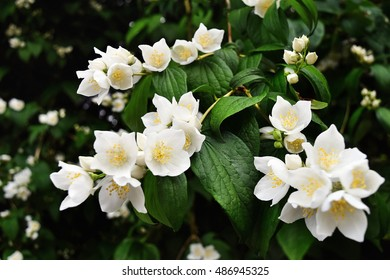 bush of fresh blooming jasmine flowers