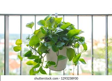 Bush of Golden Pothos plant in white pot hanging on the balcony