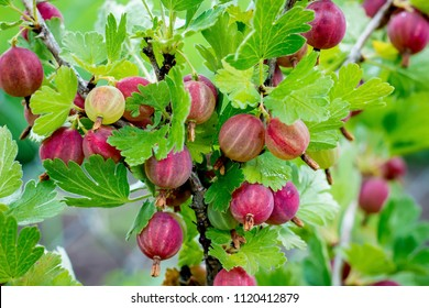 A bush of gooseberries with ripe berries. Branch of gooseberries with red berries