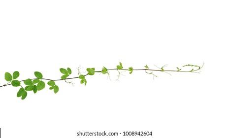 Bush grape or threeleaf cayratia (Cayratia trifolia) wild climbing vine tropical liana plant isolated on white background, clipping path included.