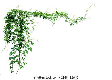 Bush grape or three-leaved wild vine cayratia (Cayratia trifolia) liana ivy plant bush, nature frame jungle border isolated on white background, clipping path included.  - Shutterstock ID 1149412646