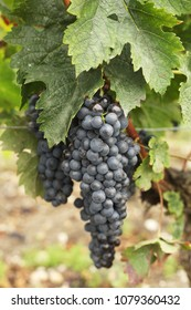 bush of grapes in the wineyard