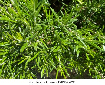 bush of green fresh rosemary