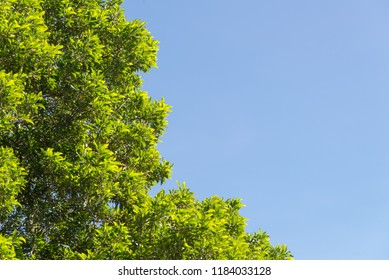 bush green leaves and branches of treetop on blue sky for design and decoration