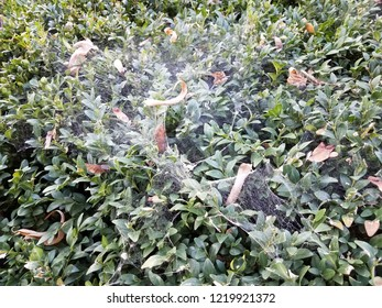 bush with green leaves and large spider web