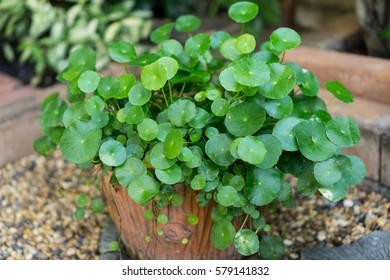 Bush of green Water Pennywort or Dollarweed in the flowerpot with garden background