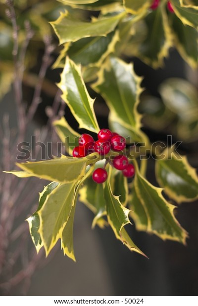 bush of holly with berries