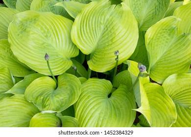 Bush Hosta Sum and Substance  - plant closeup perennial giant hosta garden plant