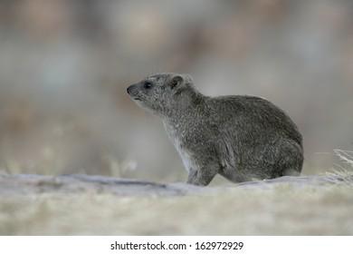 Bush hyrax or Yellow-spotted rock dassie,  Heterohyrax brucei, single mammal on rock, Tanzania
