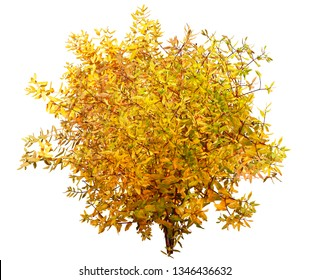 Bush isolated on white background. Branch and foliage in autumn