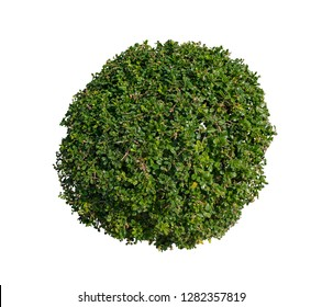 Bush isolated on white background,Objects with Clipping Paths