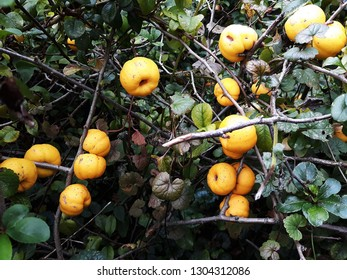 Bush of Japanese quince (Chaenomeles hybrids) with ripe fruits. Chaenomeles speciosa (commonly known as flowering quince, Chinese quince, or Japanese quince). Family Rosaceae.