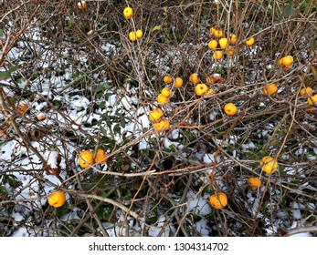 Bush of Japanese quince (Chaenomeles hybrids) with ripe fruits. Chaenomeles speciosa (commonly known as flowering quince, Chinese quince, or Japanese quince) in the winter. Family Rosaceae.