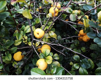 Bush of Japanese quince (Chaenomeles hybrids) with ripe fruits. Chaenomeles speciosa (commonly known as flowering quince, Chinese quince, or Japanese quince. Family Rosaceae.