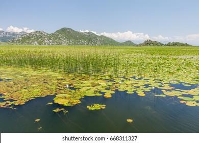 Bush in Lake Skadar