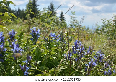 Bush of lush wild violet mountain flowers with trees and sky behind