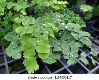 Bush Maidenhair Fern