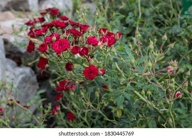 A bush with many small garden red bright rose flowers in focus against a background of other rose bushes, garden leaves and white stones. Red rose flowers close up.