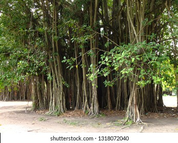 Bush in Nauru (3rd smallest country in the world), South Pacific