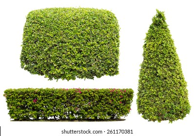 bush on white background , isolated