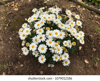 Bush of ox-eye daisy or oxeye daisy (Leucanthemum vulgare).