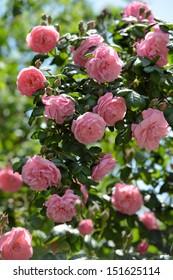 Bush of pink climbing roses in a garden