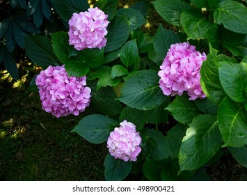 Bush of pink flower hydrangea blooming in the garden