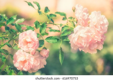 Bush of pink rose flowers in the summer garden on soft pastel color